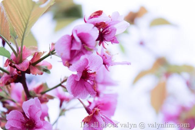 春天赏樱花 (13)
