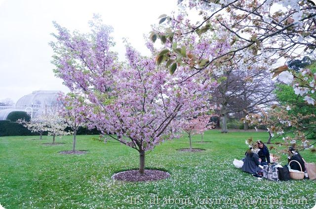春天赏樱花 (3)