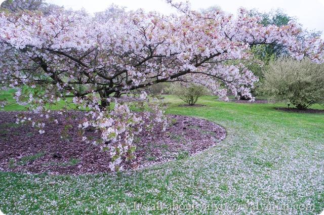 春天赏樱花 (5)